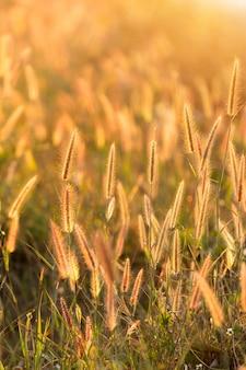 Flor de hierba abstracta en fondo puesta de sol