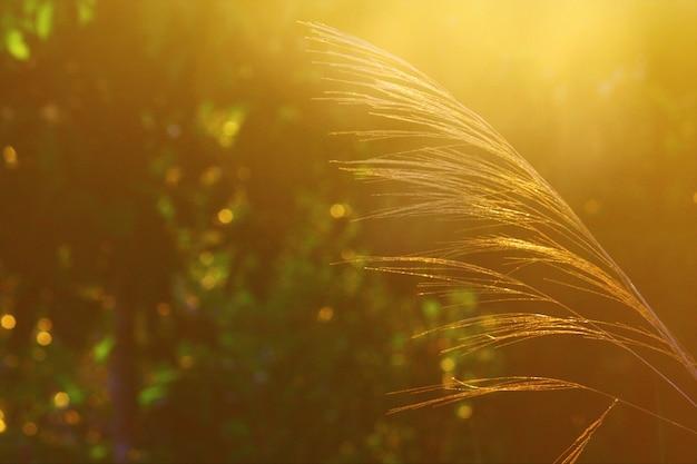 Flor de hierba ramas con salida del sol en luz natural en la mañana