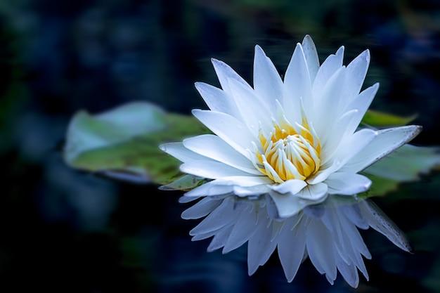 Una flor y una hoja hermosas de loto blanco en la charca.