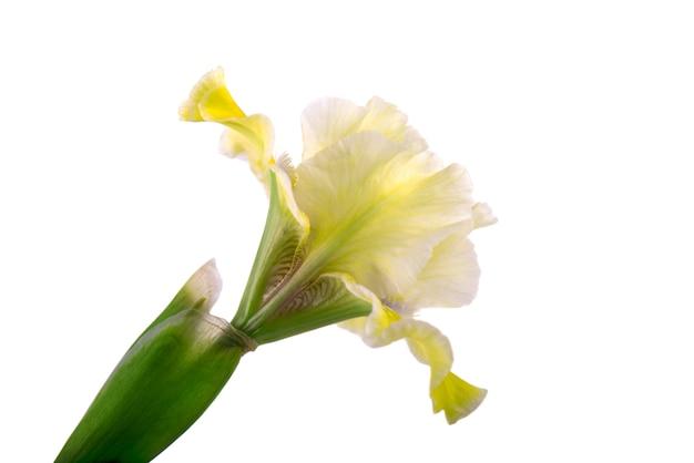 Flor de iris amarillo, aislado en el espacio en blanco.