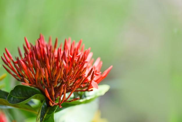 Flor de ixora roja floreciendo en el jardín hermosa naturaleza fondo verde chinensis ixora coccinea