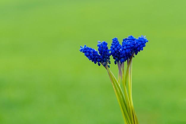 Flor de jacinto en hierba