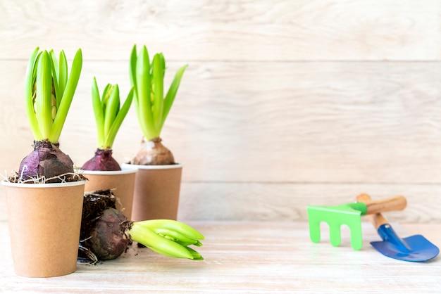 Flor de jacinto en macetas de papel y herramientas de jardinería en la pared de madera. muro de jardinería de primavera, plantar jacintos. muro de pascua, concepto de primavera