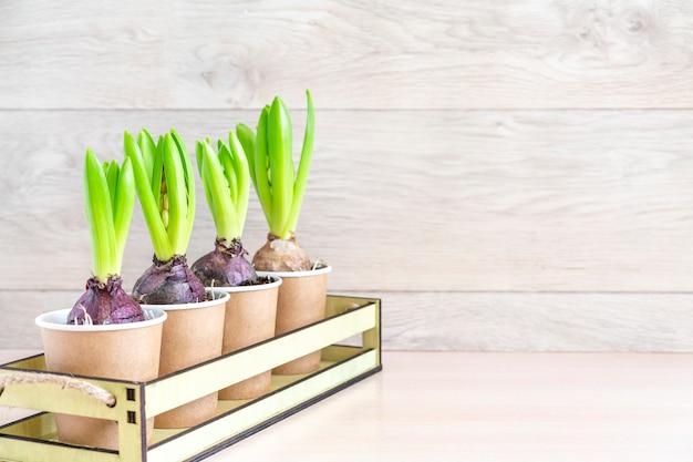 Flor de jacinto en macetas de papel en la pared de madera. muro de jardinería de primavera, plantar jacintos. muro de pascua, concepto de primavera