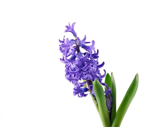 Flor de jacinto púrpura sobre fondo blanco.