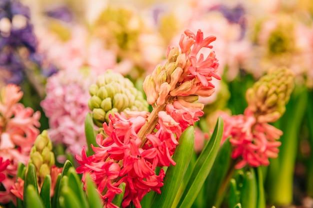Flor de jacinto rojo en el jardín