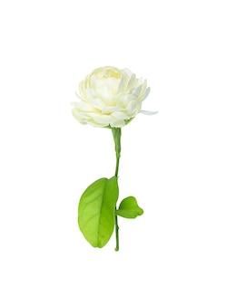 Flor de jazmín aislado sobre fondo blanco.