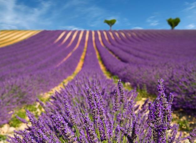 Flor de lavanda floreciendo campos perfumados.