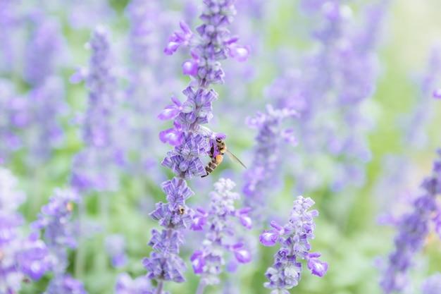 Flor de lavanda hermosa y brillante púrpura.