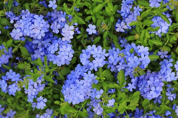 Flor del leadwort del cabo del primer (auriculata del grafito) en el jardín.