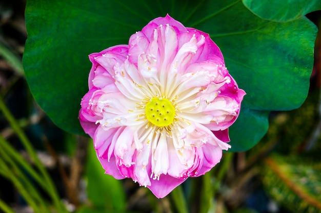 Flor de lirio de agua en estanque fuente hermosa en el fondo verde de la naturaleza