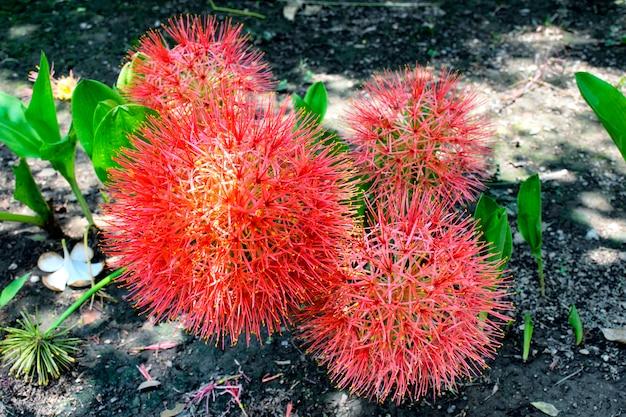 La flor de lirio, la flor de sangre o la bola de fuego es hermosa. (nombre científico haemanthus multiflorus).
