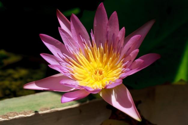 Flor de lirio de loto de cerca