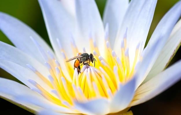 Flor de loto con una abeja