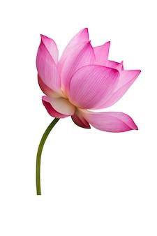 Flor de loto aislada en blanco. el archivo contiene un trazado de recorte tan fácil de trabajar.