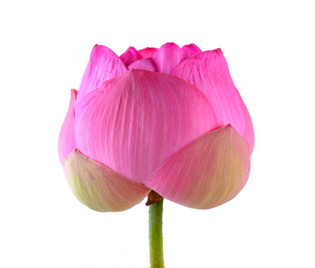 Flor de loto aislada sobre fondo blanco