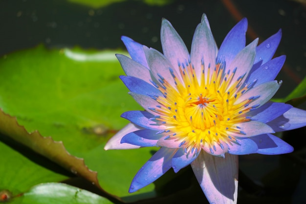 Flor de loto azul que florece por completo en el estanque y la almohadilla de desenfoque