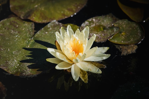 Flor de loto blanca sobre el agua