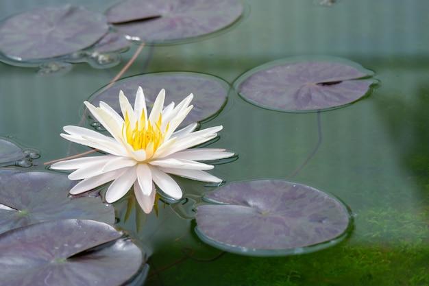 Flor de loto blanco que florece con hoja verde