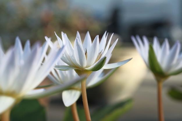 Flor de loto en estanque en la mañana