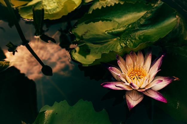 Flor de loto estrella en el estanque