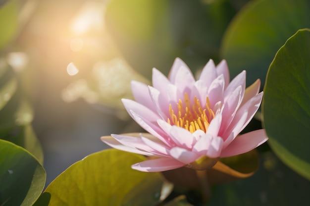 Flor de loto hermosa en el agua en jardín.