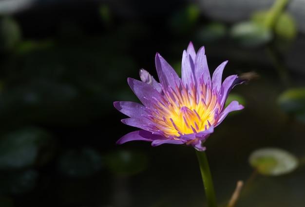 Flor de loto hermosa en la superficie del agua.