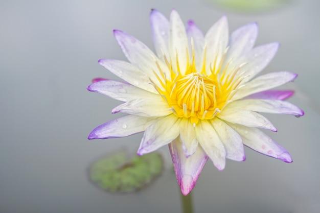 Flor de loto un hermoso nenúfar blanco en el estanque