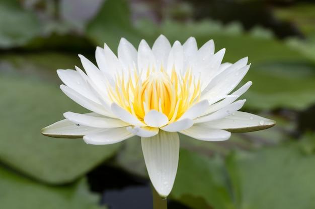 Flor de loto de primer plano