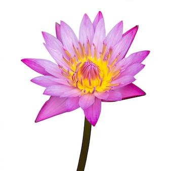 Flor de loto púrpura aislada en blanco con trazado de recorte