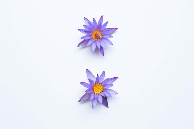 Flor de loto púrpura que florece en blanco