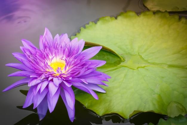 Flor de loto púrpura que florece maravillosamente en el agua con hojas flotantes