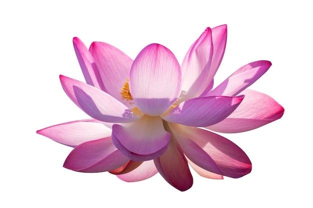 Flor de loto rosa aislado flores blancas