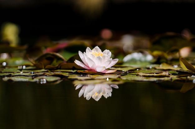 Flor de loto rosa sobre el agua