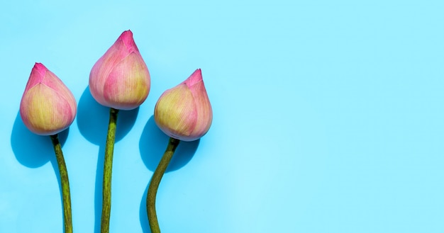 Flor de loto rosa sobre fondo azul.