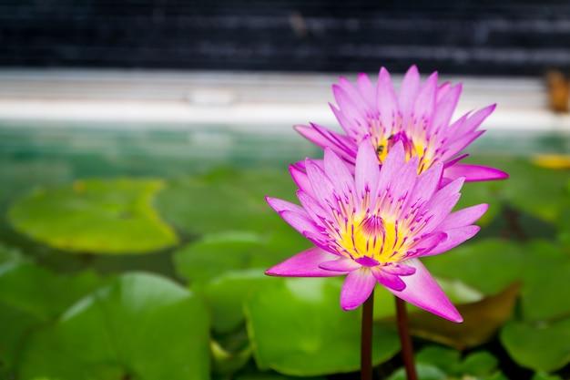 Flor de loto rosada hermosa con la hoja verde en la charca