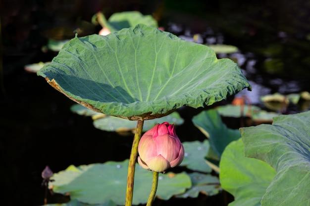 La flor de loto rosada y el loto hojean en la charca con tono oscuro en fondo