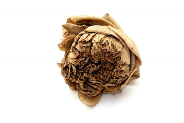 Flor de loto seca aislada en blanco