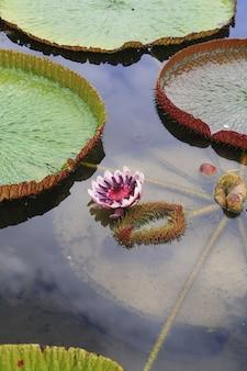 Flor de loto de victoria en el lago
