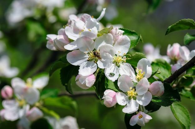 Flor de manzana floreciente