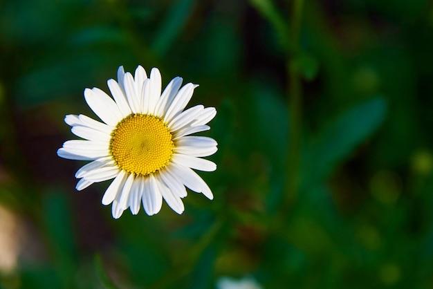 Una flor de manzanilla en primer plano