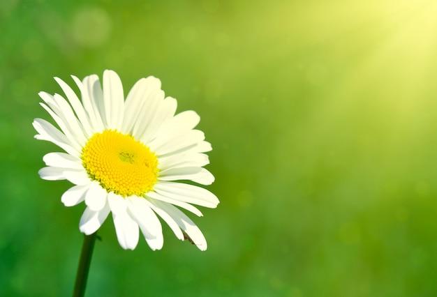 Flor de manzanilla bajo los rayos del sol