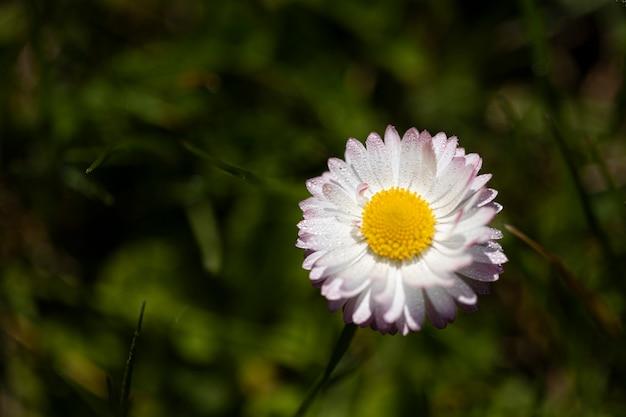 Flor de margarita blanca