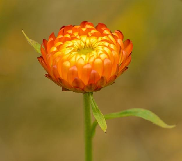 Flor de la margarita eterna naranja