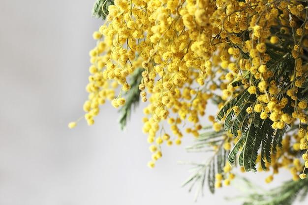 Flor de mimosa fresca