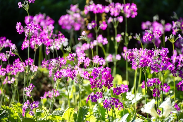 Flor morada en el campo del jardín.