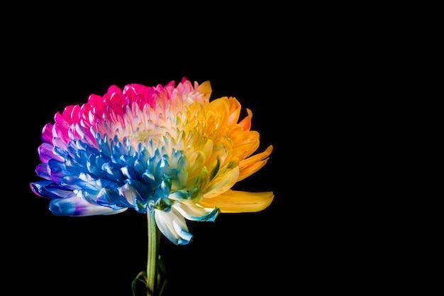 Flor multicolor sobre fondo negro copia espacio