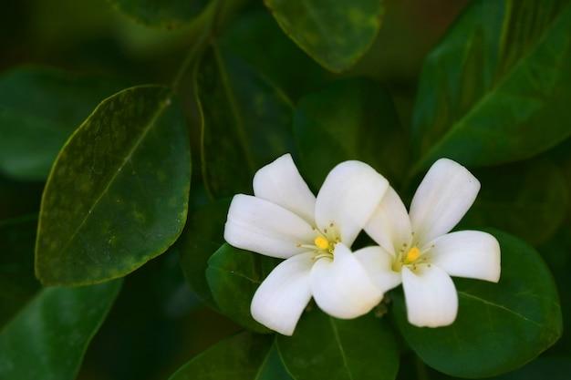 Flor de murraya paniculata