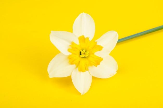 Flor de narciso con pétalos blancos y amarillos.