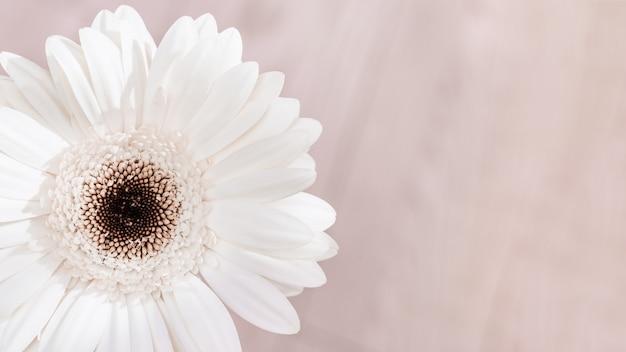 Flor natural gerbera blanca sobre fondo claro con espacio de copia para su texto. tarjeta de felicitación para cumpleaños, día de la boda o día de la mujer. enfoque selectivo.